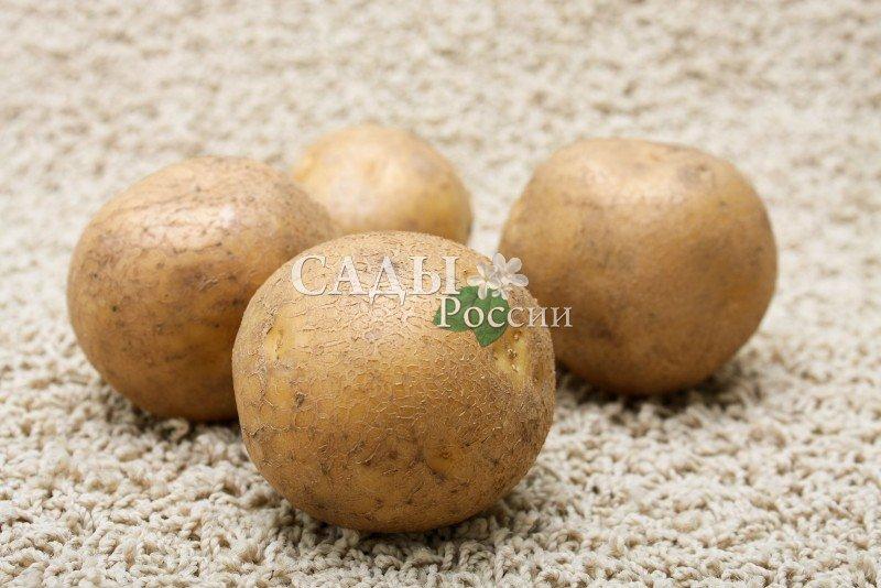 Картофель КаратопРаннеспелые сорта картофеля<br>Новейший<br>немецкий сорт. Очень ранний! Отличительные особенности — лёжкость и прекрасные вкусовые качества. Клубни<br>овально-округлой формы, кожура жёлтая, глазки мелкие.<br>