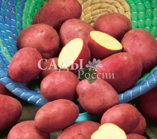 Картофель РодригоРаннеспелые сорта картофеля<br>Суперновинка немецкой селекции. Клубни «Родриго» не спутаешь ни с какими другими.<br>