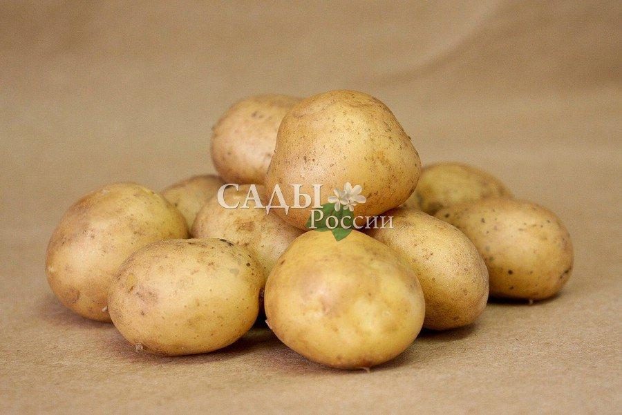 Картофель УдачаРаннеспелые сорта картофеля<br>Соответствует названию, на сегодняшний день это лучший по урожайности российский сорт. Засухоустойчив, экологически пластичен.<br>