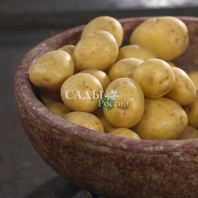 Картофель ГалаРаннеспелые сорта картофеля<br>Раннеспелый сорт, который хорошо приспосабливается к любым условиям. Сбор урожая — на 70-80 день. Урожайность до 4 кг/м2.<br>
