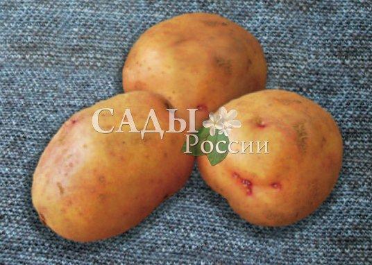 Картофель Жуковский раннийРаннеспелые сорта картофеля<br>Российский шедевр селекции раннего картофеля.<br>