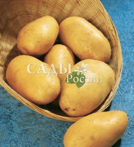 Картофель ЗекураСреднеспелые сорта картофеля<br>Мы уже не удивляемся тому, что в Европе требования к вкусу картофеля отличаются от наших представлений на этот счёт.<br>