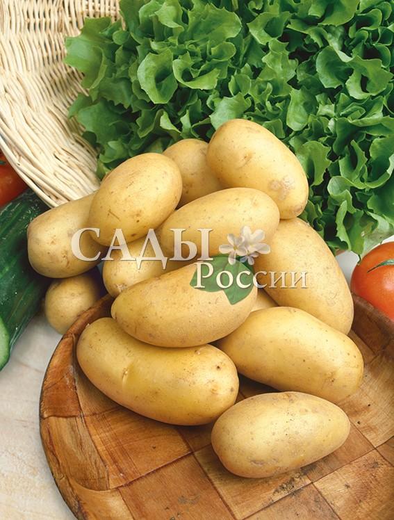 Картофель КолеттеРаннеспелые сорта картофеля<br>НОВИНКА!  <br><br>Очень ранний картофель с хорошим вкусом. Первая копка возможна на 45, вторая — на 55 день.<br>Общая урожайность 3-5 кг/м2 в зависимости от<br>условий.<br>