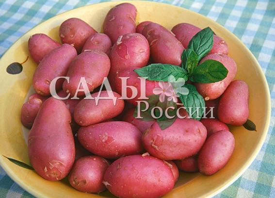 Картофель МанифестБелорусские сорта картофеля<br>НОВИНКА!  <br><br>Среднеранний сорт белорусской селекции. Сбор урожая уже через два с половиной месяца. Урожай стабильный — до 4,6 кг/м2. Клубни крупные — до 132 г.<br>