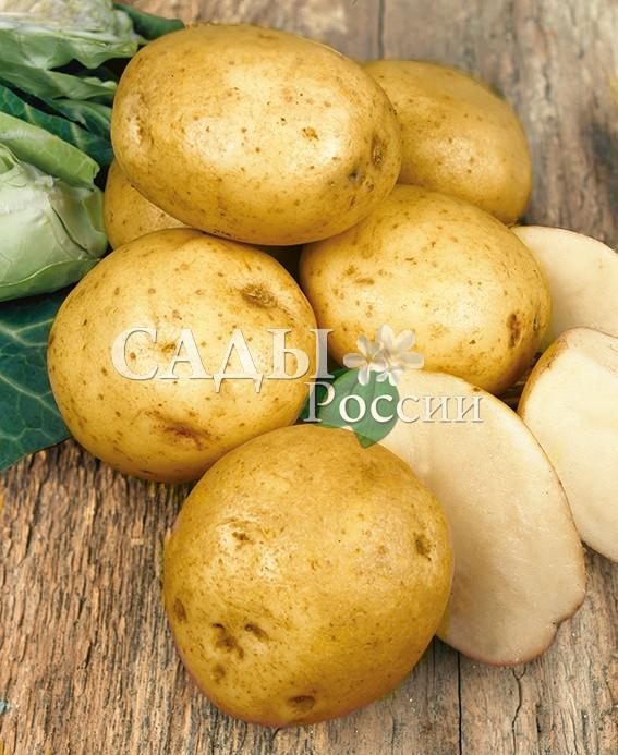 Картофель ЯнкаБелорусские сорта картофеля<br>НОВИНКА!  <br><br>Среднеспелый (80-95 дней) и урожайный (до 6,3<br>кг/м2) столовый сорт. Масса одного клубня 81-106 г,<br>количество клубней в одном кусте до 12 шт.<br>
