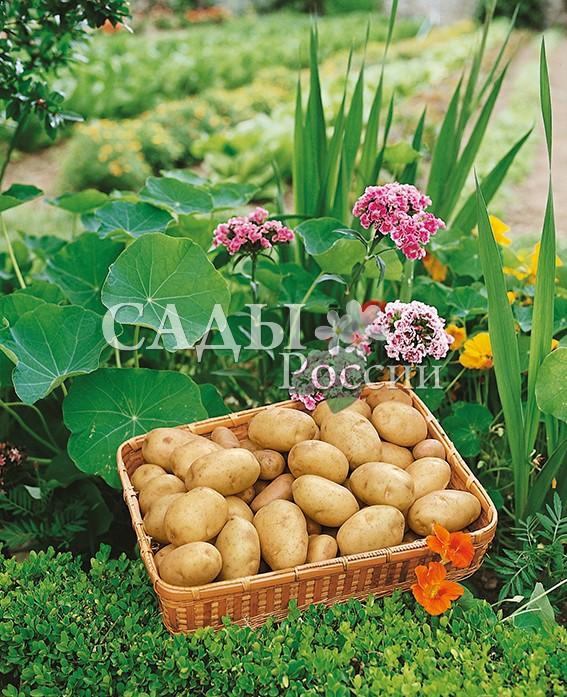Картофель ВолантБелорусские сорта картофеля<br>НОВИНКА!  <br><br>Среднеспелый сорт. Очень урожайный — до 6,8 кг/м2.<br>Клубни овальной формы, с жёлтой кожицей и мелкими<br>красноватыми глазками.<br>