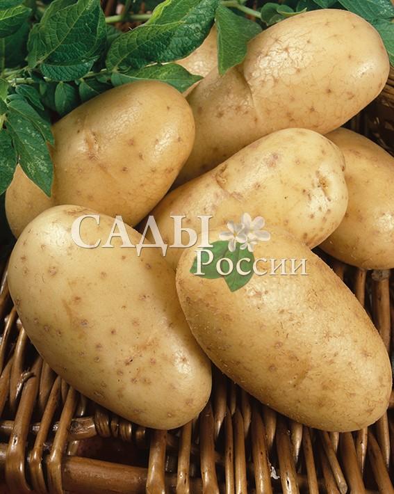 Картофель УладарБелорусские сорта картофеля<br>НОВИНКА!  <br><br>Раннеспелый сорт, отличается высокой урожайностью и неприхотливостью.<br>
