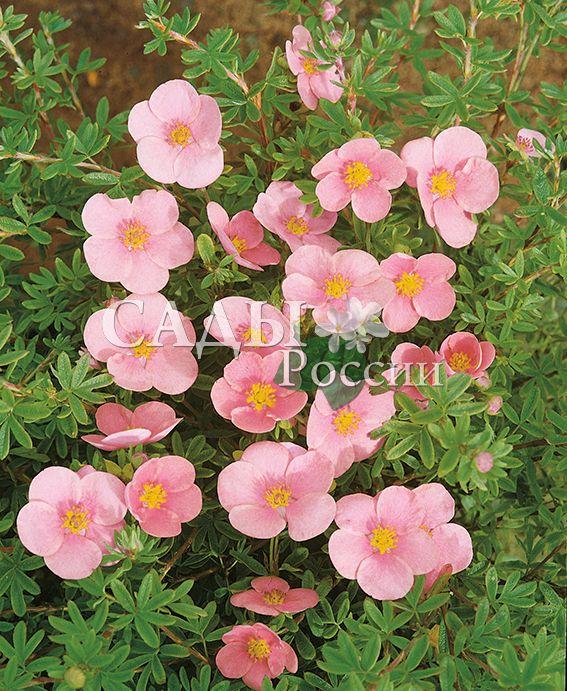 Курильский чай Прекрасный розовыйДекоративные деревья, кустарники, лианы<br>Очень красивый. Яркий,<br>изыскано-нежный розовый — цвет доброты и откровения. Цветки крупные, иногда махровые.<br>