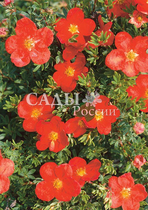 Курильский чай Красный победительДекоративные деревья, кустарники, лианы<br>Королева красоты. Цветки с<br>шёлковыми лепестками неповторимых красно-коралловых оттенков на фоне ажурной светлой зелени листьев.<br>
