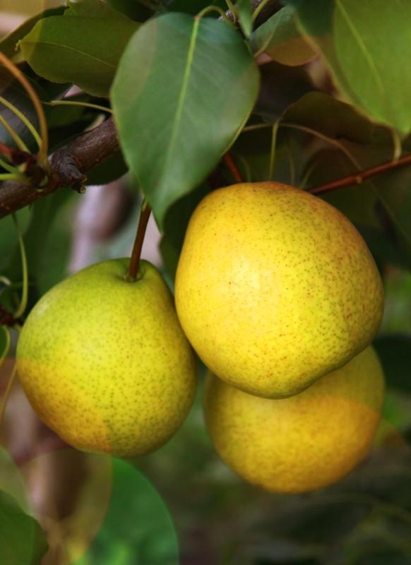 Груша ЛаринскаяГруша Осенние сорта<br>Дерево крупное, быстрорастущее, высокозимостойкое, урожайное.<br>