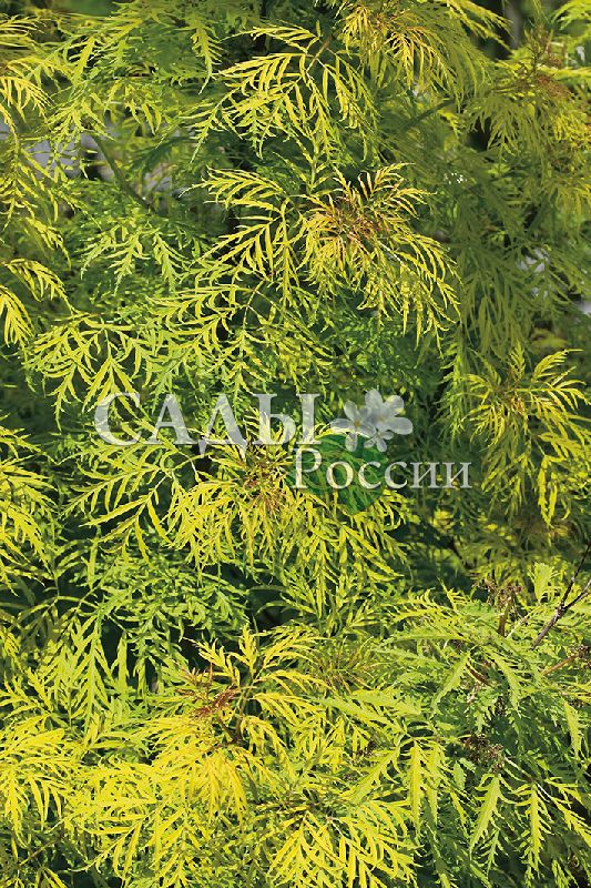 Бузина краснаяДекоративные деревья, кустарники, лианы<br>Яркий, пышный, сильноветвистый кустарник высотой до 4—5 м, окружённый таинственной мощной аурой, помогающей тем, кто в неё верит.<br>