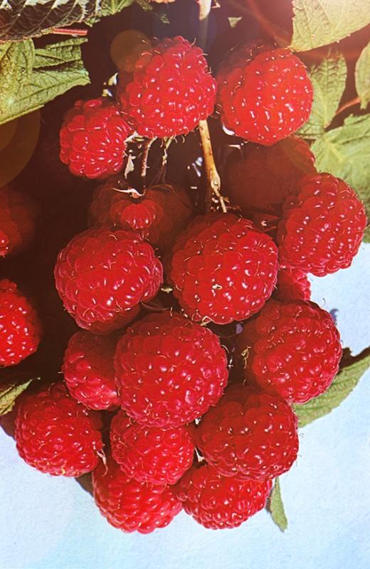 Малина БархатнаяМалина красная<br>Ягоды<br>небольшие, среднеплотные, сочные, очень вкусные и<br>ароматные.<br>