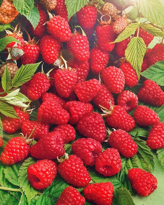 Малина ПересветМалина красная<br>Отличный<br>высокоурожайный сорт среднепозднего срока созревания.<br>Ягоды крупные, тёмно-малиновые, слегка удлинённой<br>формы, плотные, вкусные, хорошо транспортабельные.<br>