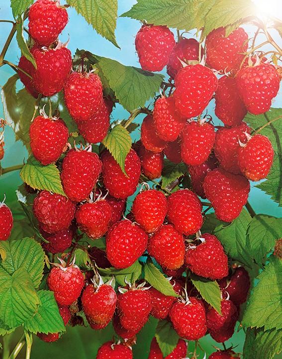 Малина АрочнаяМалина красная<br>Сорт-лакомка, удивительно вкусный и ароматный с крупными<br>красивыми ярко-красными ягодами.<br>