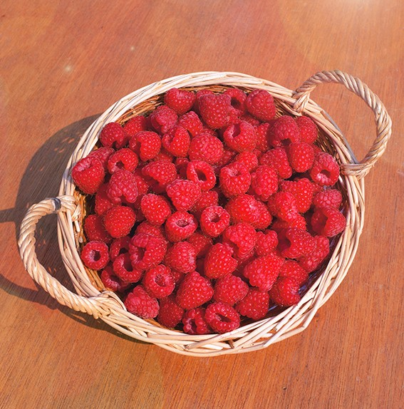 Малина СпутницаМалина красная<br>Идеальный<br>сорт для переработки и заморозки.<br>