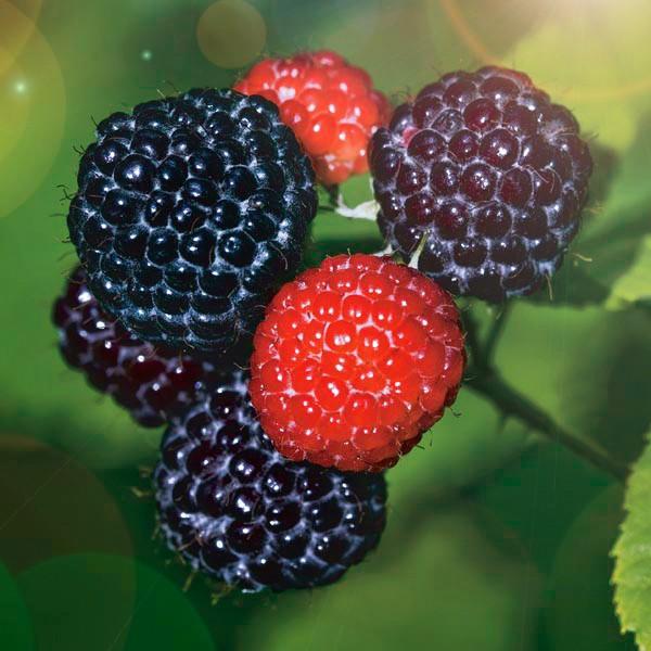 Малина ЭлеонораМалина черноплодная<br>Очень<br>урожайная «черноглазая» красавица. Ветви слегка<br>наклоняются под тяжестью чёрных отборных крупных ягод<br>округлой формы.<br>