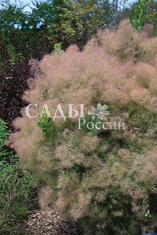 Скумпия Юная ледиДекоративные деревья, кустарники, лианы<br>Очень изящное<br>деревце или чаще всего компактный сильноветвистый кустарник<br>высотой от 1,5 м и более.<br>