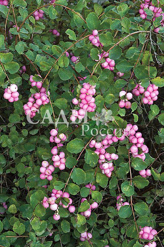 Снежноягодник ХэнкокДекоративные деревья, кустарники, лианы<br>Осенний сюрприз.<br>Перламутровая россыпь жемчужно-розовых ягод особенно<br>привлекательна хмурой осенью в предзимье.<br>