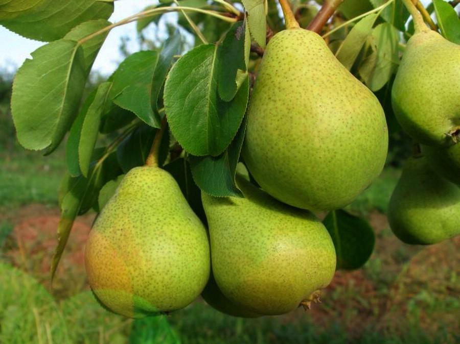 Груша СвердловчанкаГруша Осенние сорта<br>Крупные правильной<br>формы плоды позднелетнего срока потребления выглядят<br>очень убедительно. Вкус их просто великолепный.<br>