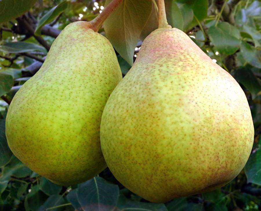 Груша СказочнаяГруша Осенние сорта<br>Дерево среднерослое, зимостойкое, урожайное.<br>
