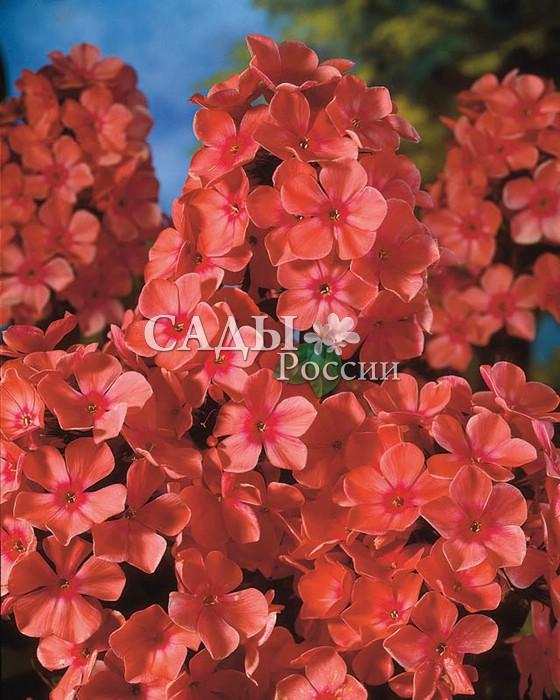 Флоксы Оранжевый совершенныйФлоксы метельчатые<br>Крупные, <br>оранжево-коралловые, как пламя, цветки с маленьким пурпурным <br>сердечком, всегда «зажигают» хорошее настроение.<br>