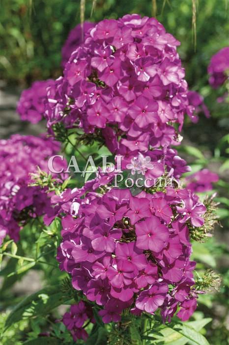 Флоксы НикиФлоксы метельчатые<br>«Жгучий брюнет» с крупными бархатистыми <br>цветками насыщенного пурпурно-фиолетового цвета. Один из <br>самых тёмноокрашенных сортов флокса.<br>