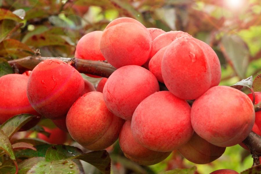 Слива ДудукаСлива на полукарликовом подвое<br>Сорт-красавец. Может<br>похвастаться не только крупными (50—55 г) тёмно-красными сочными кисло-сладкими плодами, но и определённой декоративностью.<br>