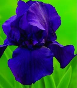 Ирисы МатинатаИрисы бородатые<br>В переводе – «утренние мотивы».<br>Совершенно завораживающая<br>окраска цветков – тёмно-сине-фиолетовая, с пурпурным оттенком, как<br>раннее утро перед грозой.<br>