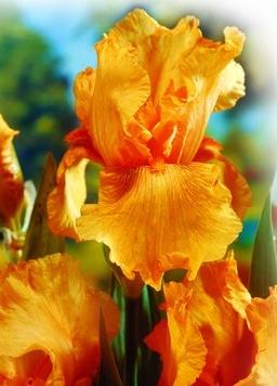 Ирисы Небесный пожарИрисы бородатые<br>Один из самых красивых сортов. Цветы крупные, гофрированные, нежно-абрикосовые с<br>ярким розово-оранжевым центром.<br>
