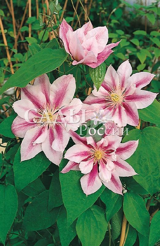 Клематисы АндромедаКлематисы<br>НОВИНКА!   <br> <br>Великолепный сорт с большими, до 20 см (!),<br>полумахровыми двуцветными цветками.<br>