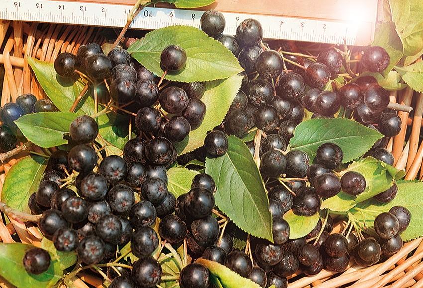 Рябина Черноплодная НероРябина черноплодная<br>Надёжный раннеспелый крупноплодный сорт.<br>