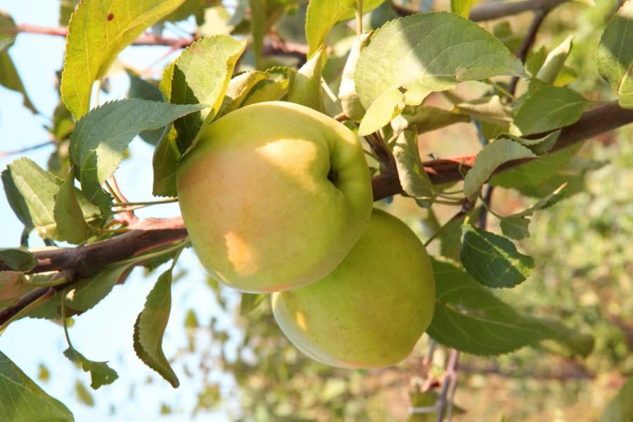 Яблоня ДачнаяЯблоня Летние сорта<br>Совсем необязательно ждать вкусных яблок долго.<br>Посадите «Дачную» — дерево быстро вырастет, быстро<br>начнёт плодоносить и урожай будет созревать уже в<br>первой половине августа.<br>