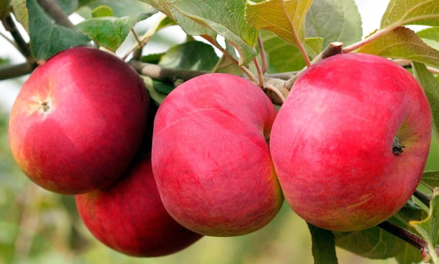 Яблоня РозочкаЯблоня Летние сорта<br>Очень красивое «райское<br>яблочко», невероятно соблазнительное, так и хочется попробовать.<br>