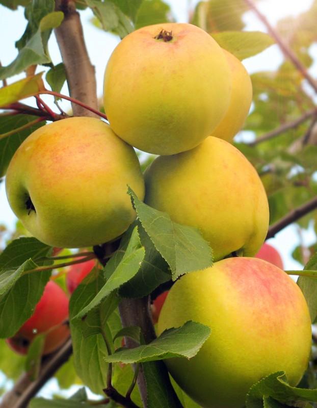Яблоня ДанилаЯблоня Осенние сорта<br>Сорт-удача: зимостойкий, урожайный, лёжкий, с хорошими<br>товарными качествами.<br>