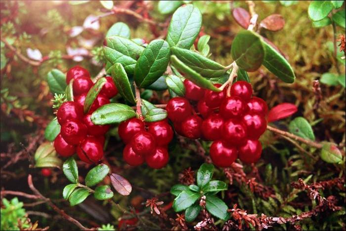 Брусника РуноБрусника<br>Ягоды маняще кисловатые и приятные на вкус. Они сидят плотной гроздью, в которой бывает от двух до девяти штук. Сбор ягод производится в августе — начале сентября.<br>