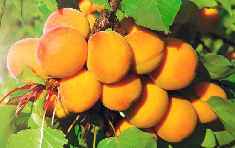Абрикос КоролевскийАбрикос<br>Плодоношение очень обильное, с королевским<br>размахом, плоды крупные (40 г), золотисто-жёлтые с лёгким румянцем.<br>