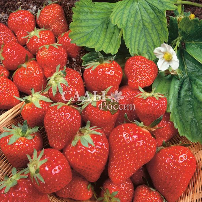 Земляника садовая ЛамбадаЗемляника ранняя<br>Сорт ценится за потрясающий вкус.<br>