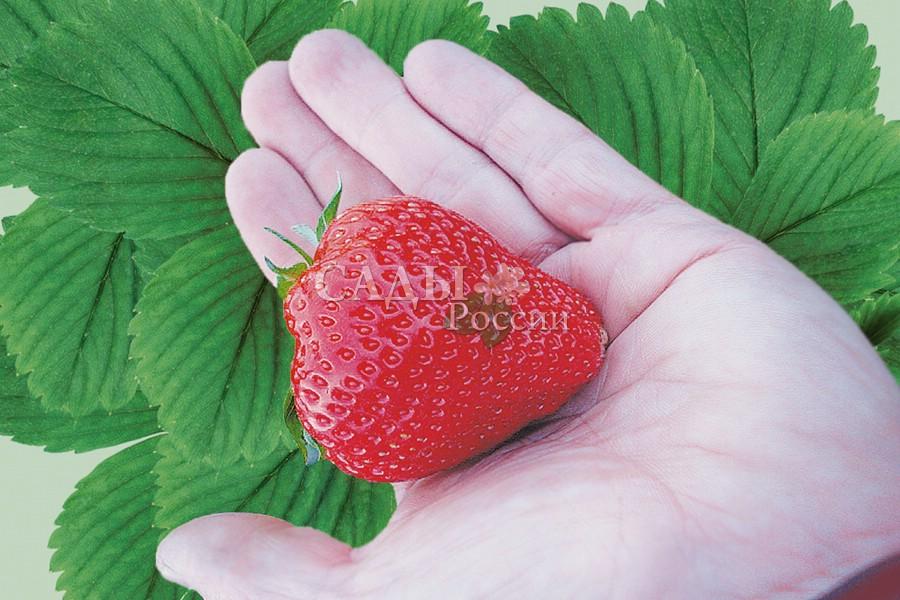 Земляника садовая ФигароЗемляника средняя<br>Новый сорт, отличающийся крупными, очень крепкими, красно-оранжевыми ягодами с нежнейшей розовой мякотью.<br>