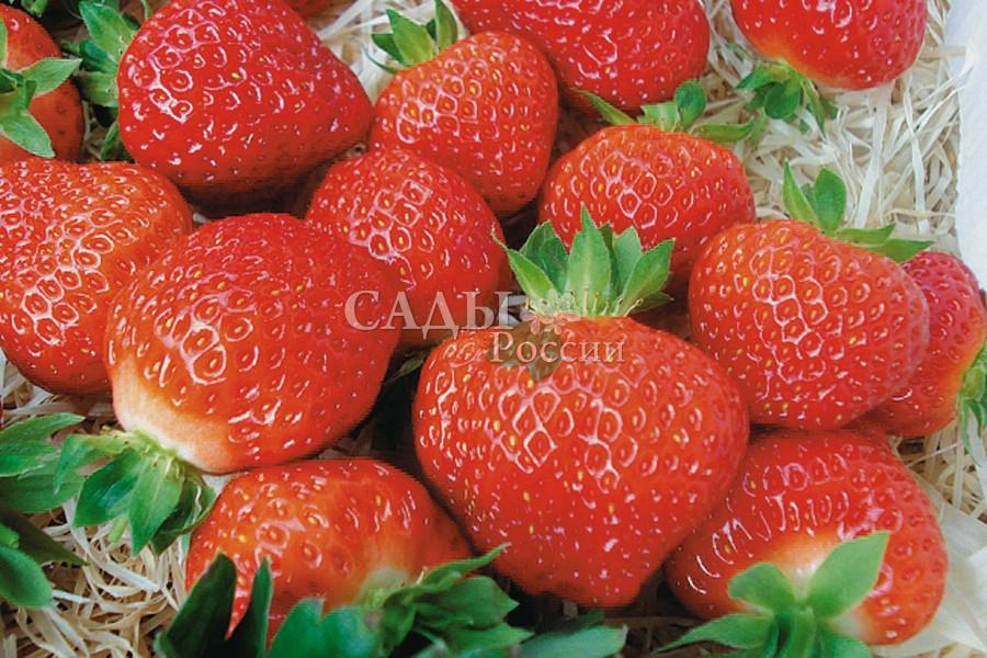 Земляника садовая СальсаЗемляника поздняя<br>Плоды Сальсы отличаются красно-оранжевым цветом, они аппетитные и очень ароматные.<br>