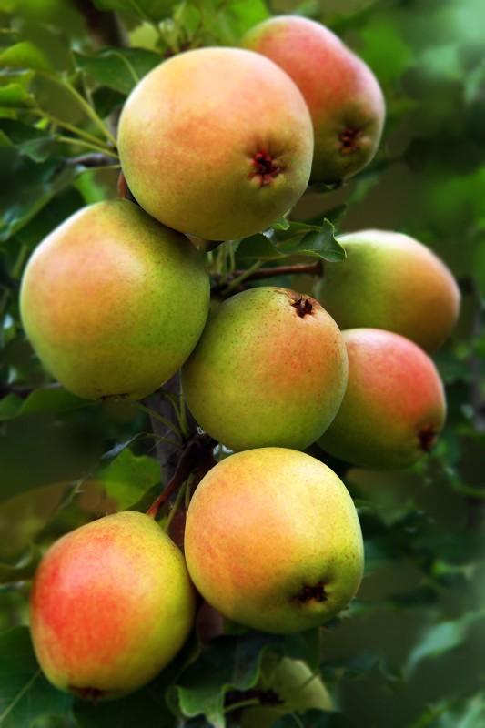 Груша КраснобокаяГруша Зимние сорта<br>В этом сорте наиболее удачно сочетаются выдающаяся зимостойкость<br>Уссурийской груши с хорошим вкусом плодов, свойственным<br>культурной европейской груше.<br>
