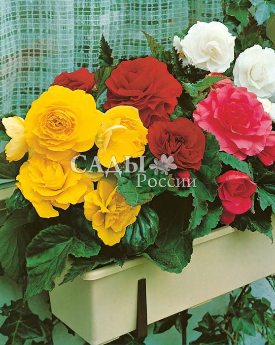 Набор крупноцветковых махровых Бегоний БенефисБегония<br>1+1+1+1. <br> <br>Волшебное, сказочное представление с участием доброй Феи — красавицы-бегонии во всём её великолепии и богатстве красок.<br>