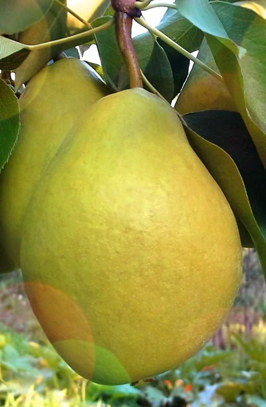 Груша ЖелтоплоднаяГруша Зимние сорта<br>Очаровательная груша-красавица с крупными золотисто-оливковыми плодами и<br>белой крупнозернистой, очень<br>сочной и нежной тающей медовой мякотью.<br>