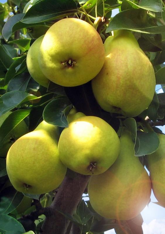 Груша ЗаречнаяГруша Летние сорта<br>Нарядная груша-красавица. Плоды золотисто-жёлтые<br>с ярким персиковым румянцем, довольно крупные<br>(100—110 г), широкогрушевидной формы.<br>