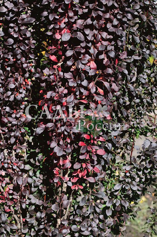 Барбарис Красный ПилларДекоративные деревья, кустарники, лианы<br>Сорт-факел, видный, яркий, светящийся на фоне мрачной осенней палитры насыщенно алым пламенем<br>листьев, что очень точно подмечено в названии: в переводе — красный компонент.<br>