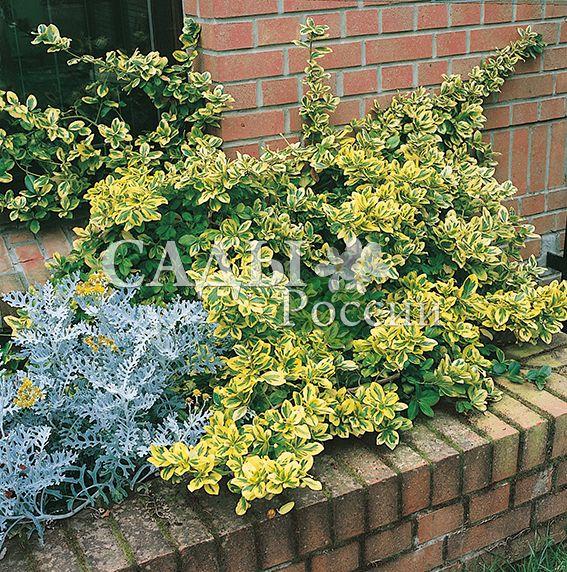 Бересклеты Золотой ЭмеральдДекоративные деревья, кустарники, лианы<br>Изумруд в золотой оправе. Брат-двойник Эмеральда Гайети с<br>такими же яркими, блестящими кожистыми изумрудными листьями, но окантованными широкой золотисто-жёлтой каймой.<br>