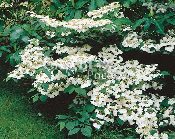 Калина КаскадДекоративные деревья, кустарники, лианы<br>Невеста в белоснежном платье. Как и все калины, чарующе<br>красива, по-своему неотразима, «одна-единственная».<br>