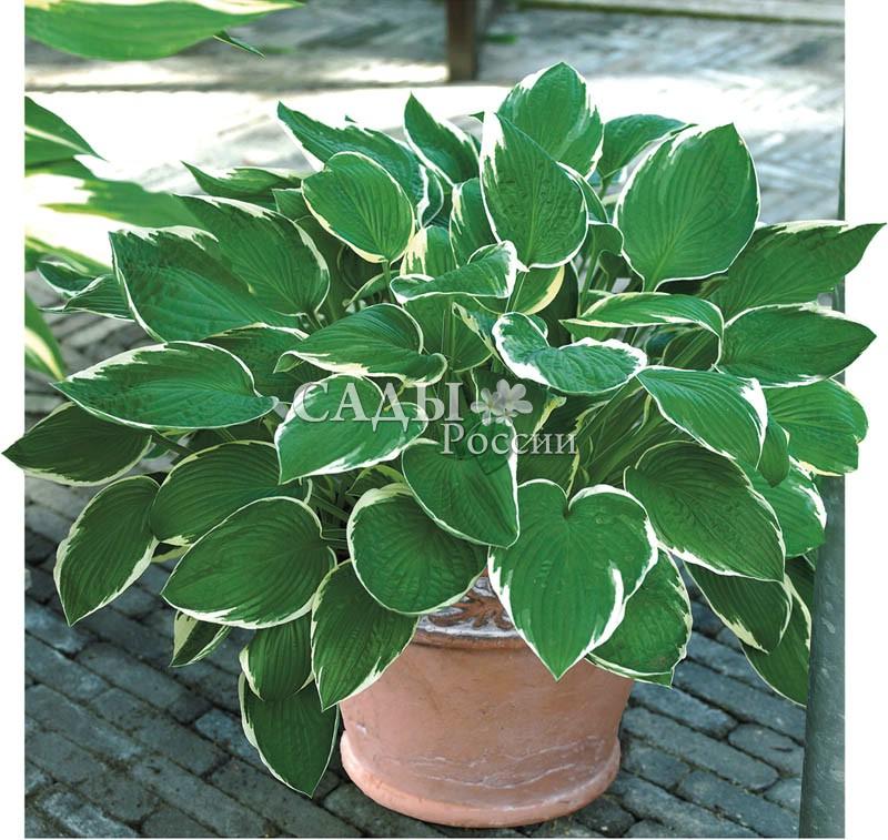 Хосты ФранцеХосты<br>Статная, эффектная, с большими рифлёными насыщенно зелёными листьями, окаймлёнными <br>прерывающейся белой каймой.<br>