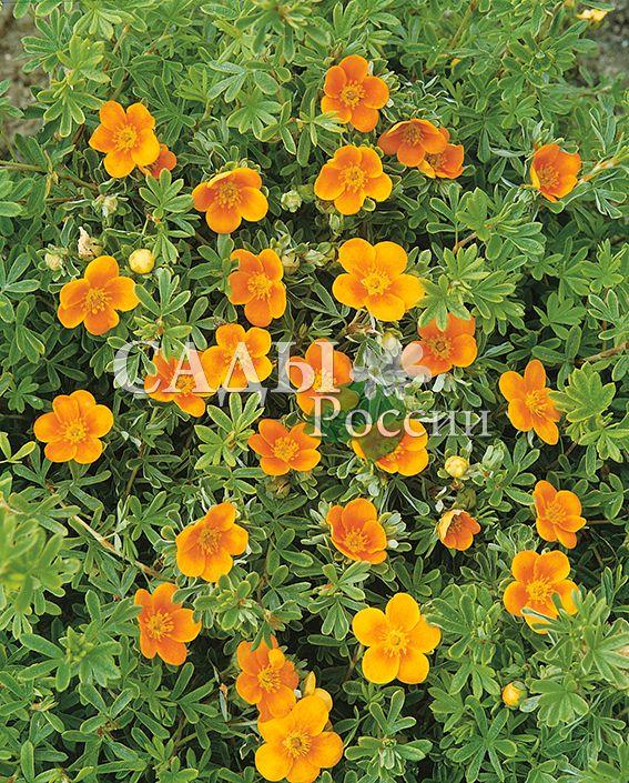 Курильский чай Оранжевый ХоплисДекоративные деревья, кустарники, лианы<br>Очаровывает теплотой и нежностью.<br>