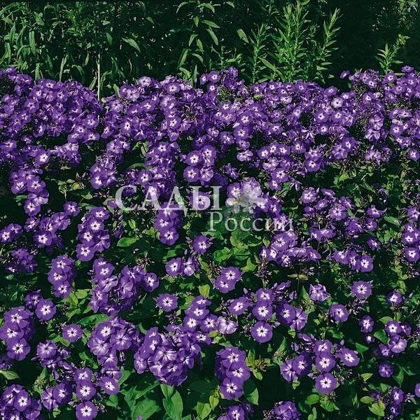 Флоксы Фиолетовый рай