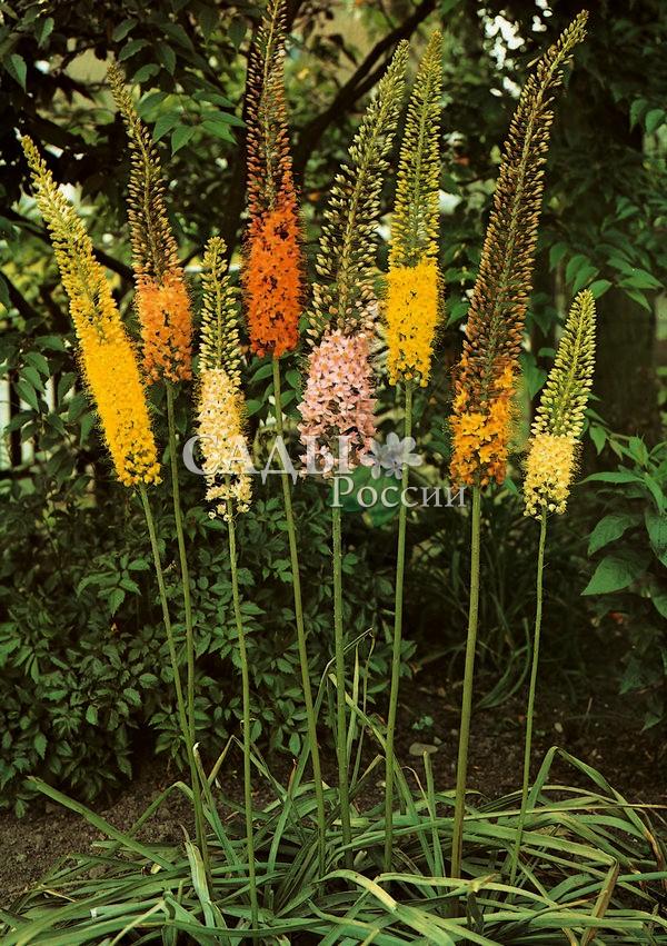 Набор Эремурусов: Клеопатра, УзколистныйЭремурус<br>1+1. <br>Эремурус (Eremurus stenophyllus) — необычайно эффектное,<br>зрелищное растение. В переводе — одинокий исполин.<br>